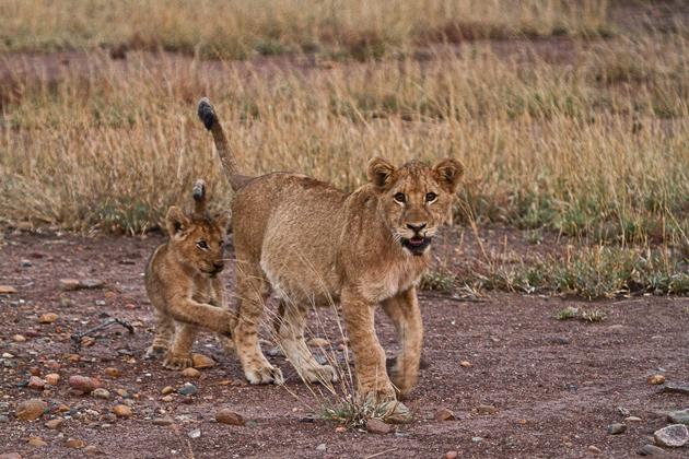 Lions cubs at Singita Kruger National Park