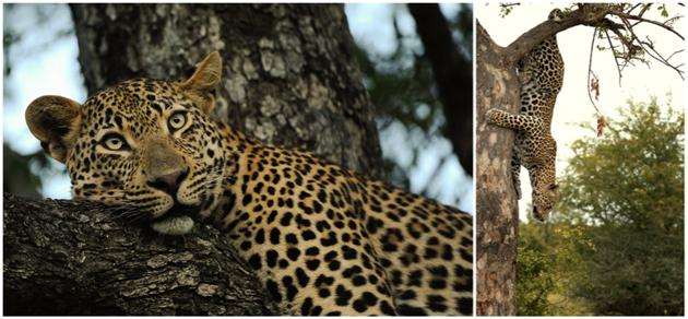 The leopards of Singita Sabi Sand
